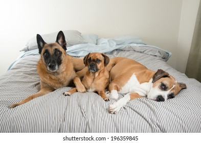 Three Fawn Colored Dogs Sleeping on Owner's Bed While No One Seeing