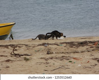Three feral cats having a good time on the beach in Faro Portugal. One male is mating with the female while the other male is checking out what to expect. An old anchor and a boat are in the frame too
