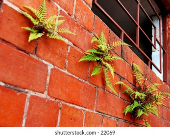 Three ferns growing on a brick wall, braving the elements