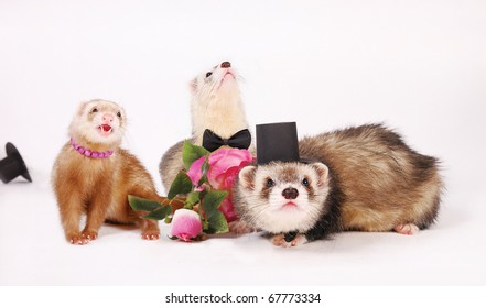 Three ferrets. Hooligan female flirt, two bewildered men in a cylinder and butterfly ties.
