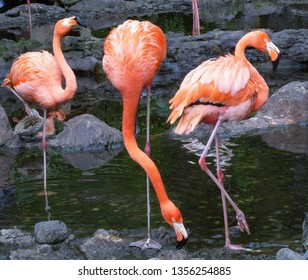 Three Flaminggo in the Zoo