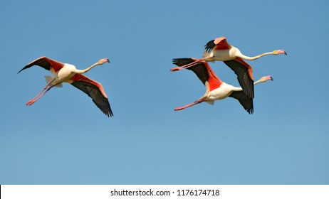 Three flamingos in flight (Phoenicopterus ruber) on the blue sky background, in the Camargue is a natural region located south of Arles, France