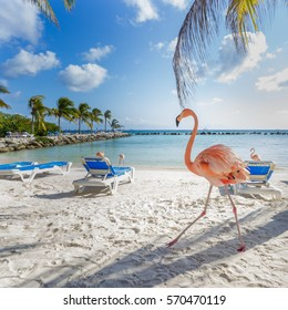 Three flamingos on the beach. Aruba island