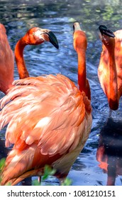 Three flamingos in a pond.