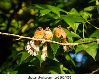 Three fledgling baby fantail birds endemic to New Zealand sitting on a forest tree branch chirping in the morning sunshine