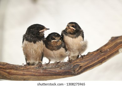 Three fledgling swallows sitting on a branch