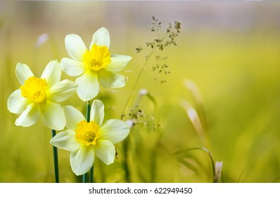 Three flower daffodils in spring outdoors on a meadow in grass in the sun close-up on  light green background. Beautiful spring pattern for design. Delicate artistic image .