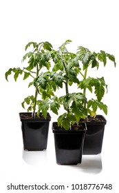Three flower pots with tomato seedlings isolated on white