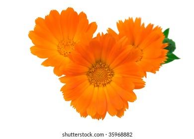 Three flowers of a calendula orange color on white background.