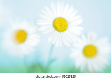 Three flowers of a camomile in the field against the sky