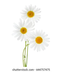 Three flowers of Chamomiles  ( Ox-Eye Daisy ) isolated on a white background.
