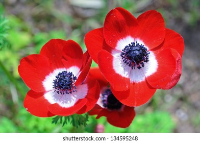 Three flowers of red anemones as spring concept