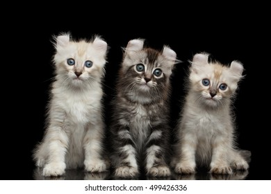 Three Fluffy American Curl Kittens with Twisted Ears Sitting on Isolated Black Background with reflection, front view