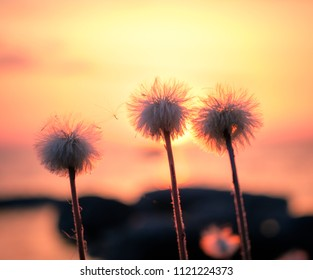 Three Fluffy dandilion by the lake at sunset