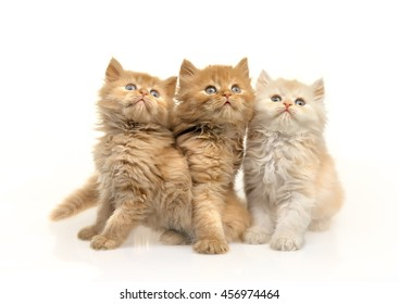 three fluffy kittens on white background