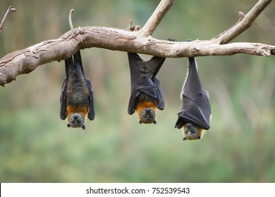 Three Flying Foxes Hanging from a Tree