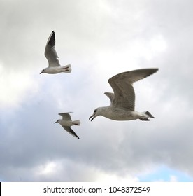 Three flying seagulls during a storm, gloomy sky