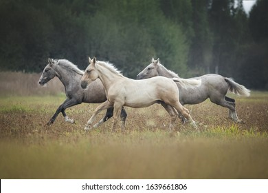 Three foals running gallop on a meadow.