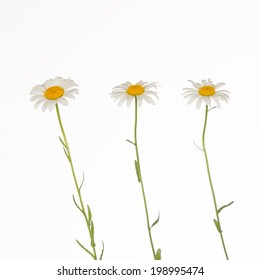 three fragile, gentle chamomile on white background
