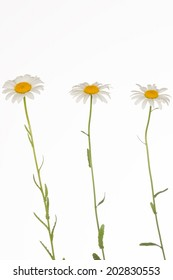 three fragile, gentle chamomile on thin stems on a white background