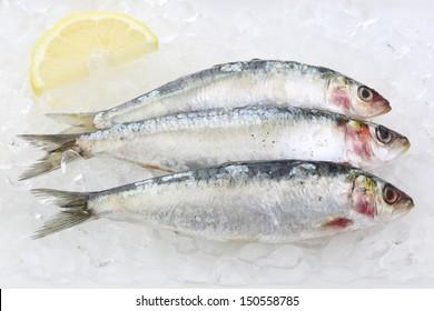 three fresh sardines on ice