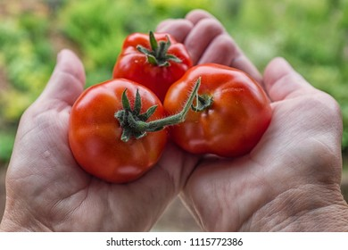 Three freshly harvested red tomatoes in the hands in front of a green garden background