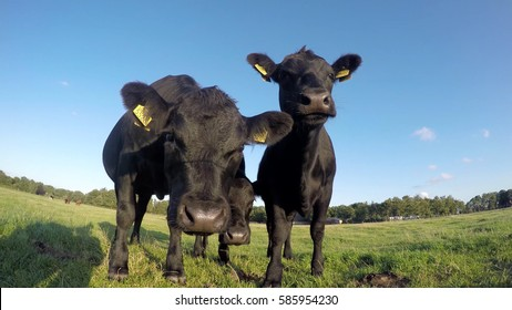 Three friendly young cute curious Aberdeen Angus black meat cows looking into camera and smelling camera standing close together on green grass field with crisp sunny blue sky summer season 4k quality