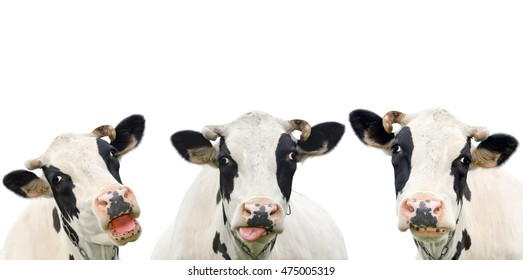 Three funny cow isolated on a white background. Portrait of three cute cows. Group of cows talk to each other. Farm animals