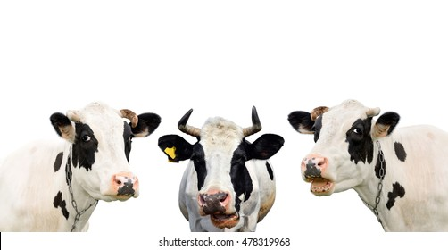 Three funny cow isolated on a white background. Portrait of three cute cows. Group of cows talking to each other/Three funny cow isolated on a white background