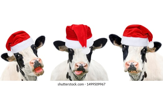 Three funny cows in Christmas hats. Cows portrait isolated on white. Farm animals.