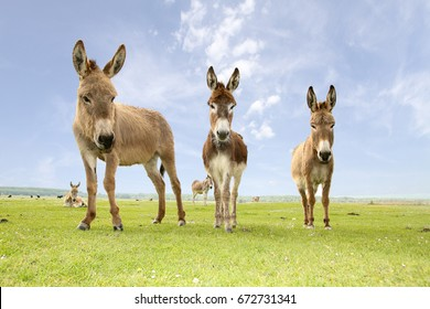 Three funny and curious donkeys on the meadow