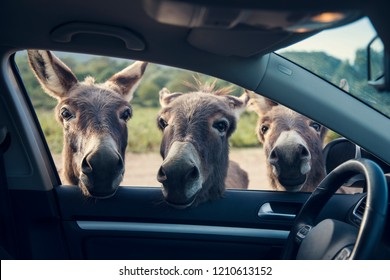 Three funny donkeys curiously looikng to the car