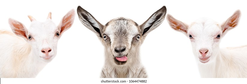 Three funny goat, closeup, isolated on a white background