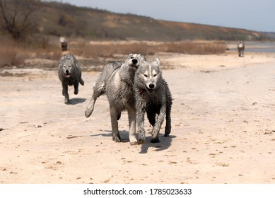 Three funny Siberian Husky dogs are running in the coast. The siblings have very dirty wet grey and white colored fur. The surface is brown sand, clay. Some dried plants and greenery at background.