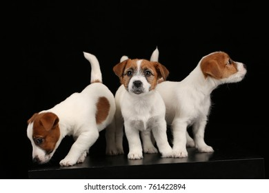 Three funny small dogs. Black background