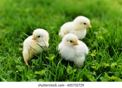 Three fuzzy yellow baby chicks in the green grass