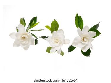 Three Gardenia flowers