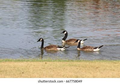 Three geese swimming