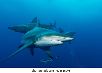 three giant Blacktips swimming in deep blue water