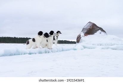 Three giant Landseers and one Borzoi standing on ice layers. Big  dogs on snowy beach looking to the right. Granoite erratic boulder. Cloudy sky during blue hour.
