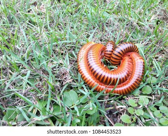 Three giant millipede. The two giant millipede breeding on green grass and leaves at the garden (Another millipede tries to insert it.). Millipedes (Thyropygus allevatus) were mating.