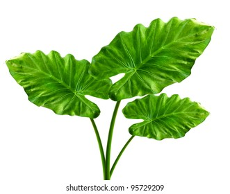 Three Giant Taro plant leafs also known as:Alocasia machrorhiza,Dieffenbachia (Dumb Cane), Elephant Ear, Cunjevoi isolated on white background