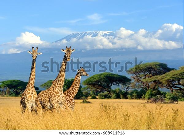 Trois girafe sur fond Kilimandjaro, parc national du Kenya, Afrique