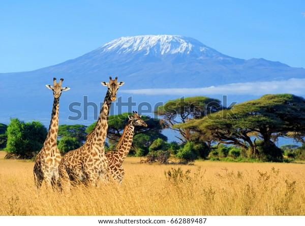 Три жирафа на фоне горы Килиманджаро в национальном парке Кении, Африка