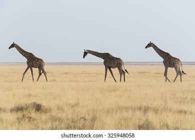 Three Giraffe. Seen during safari tour at Namibia, Africa.