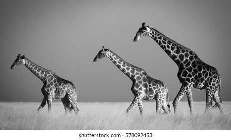 Three giraffes crossing the plains the plains of Etosha National Park, Namibia. In sepia.