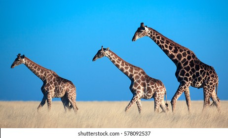 Three giraffes crossing the plains of Etosha National Park, Namibia.