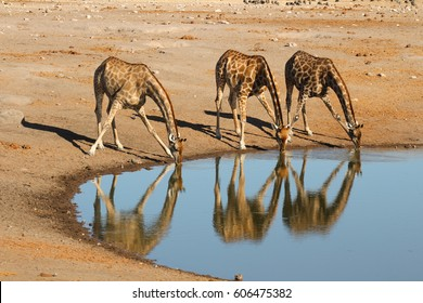 Three giraffes drinking simultaneous at a waterhole in Etosha National Park with a nice mirorring in  the water