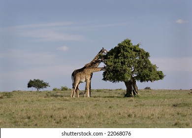 Three giraffes eating from acacia in Masai Mara Kenya