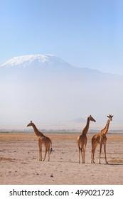 Three giraffes in front of Kilimanjaro at the background shot at Amboseli national park, Kenya. Horizontal shot